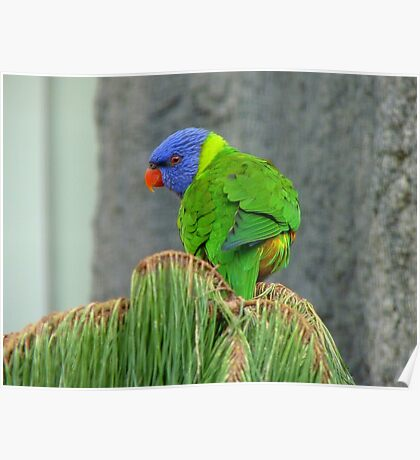 HEY!! There's A Great View From Up Here!! - RainbowLorikeet - NZ Poster