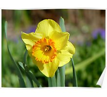 Dance With Daffodils On A Spring Breeze - Daffodil - NZ Poster