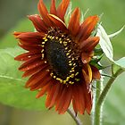Wild Sunflower by photopassion