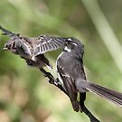 Grey Fantail and chick ~ Pre-flight Check   by Robert Elliott