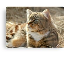 Maine Coon cat on the farm Metal Print