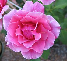 Hot Pink Rose by Sue Wickes