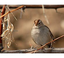Young Sparrow Photographic Print