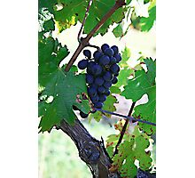 Cedar Creek Vines Photographic Print