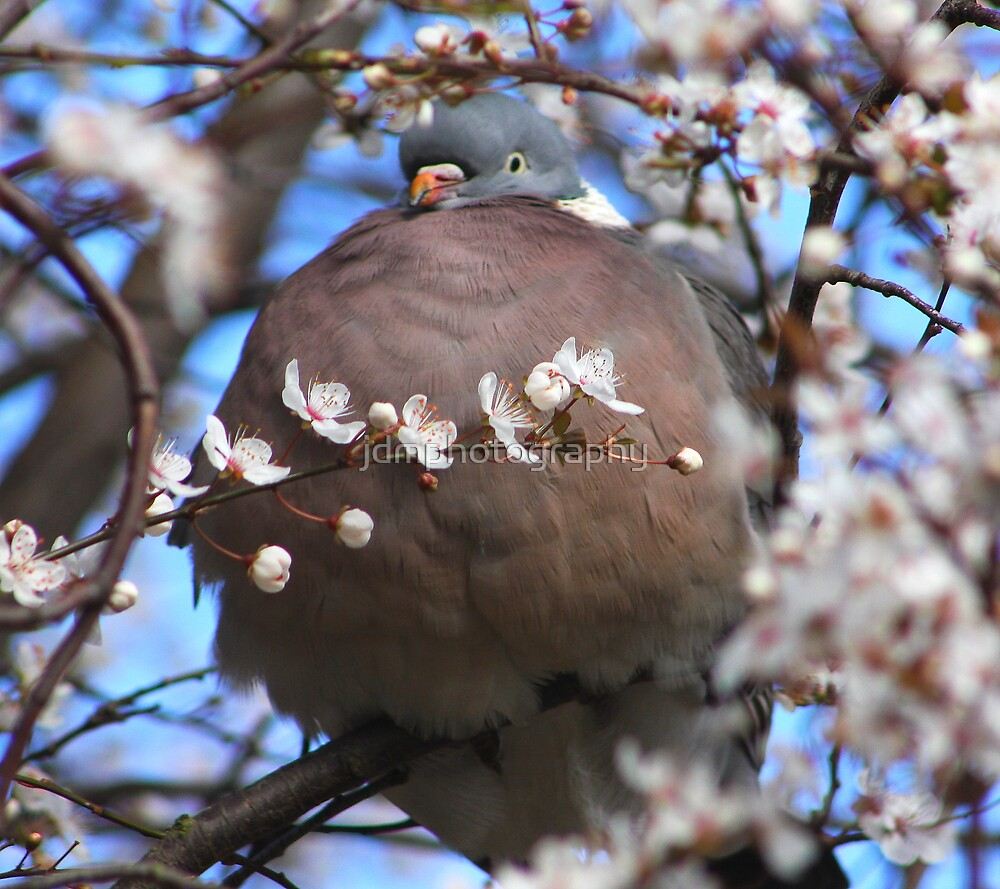 Cute puffed up wood pigeon by jdmphotography