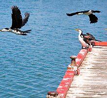 Birds of Lakes Entrance by Rosina  Lamberti