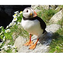 Puffin 5 Photographic Print