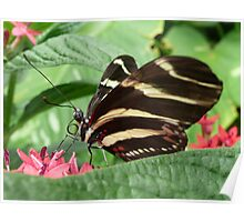 Zebra Longwing on Flowers Poster