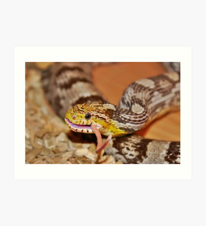 A Corn Snake Eating A Mouse With Tail Sticking Out Art Print