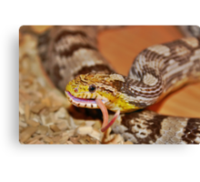 A Corn Snake Eating A Mouse With Tail Sticking Out Canvas Print