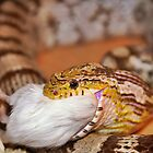 A Corn Snake Eating A Mouse by Joel Kempson