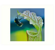 Macro - Bee Collecting Nectar From A Sarracenia & Hanging On For Dear Life Part 2 Art Print