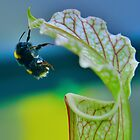 Macro - Bee Collecting Nectar From A Sarracenia & Hanging On For Dear Life Part 2 by Joel Kempson