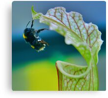 Macro - Bee Collecting Nectar From A Sarracenia & Hanging On For Dear Life Part 2 Canvas Print
