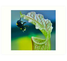 Macro - Bee Collecting Nectar From A Sarracenia & Hanging On For Dear Life Part 1 Art Print