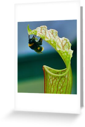 Macro - Bee Collecting Nector From A Sarracenia by Joel Kempson