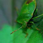 Macro - Leaf Bug by Joel Kempson