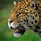 Jaguar by Peter Bland
