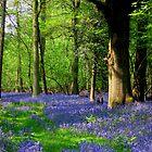 Bluebell Heaven by Jacktupp