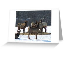 Livestock ~ Elk Greeting Card