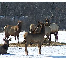 Livestock ~ Elk Photographic Print