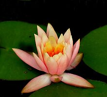 Water Lily 1 by Grayce Pedulla-Dillon