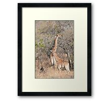 Giraffe Mama and Calf Framed Print