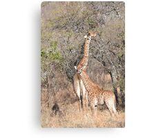 Giraffe Mama and Calf Canvas Print