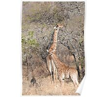Giraffe Mama and Calf Poster