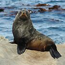 seal on rock by mtths