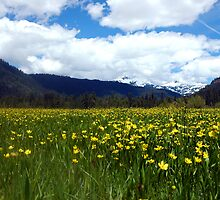 Mountain Buttercups by Karin  Hildebrand Lau
