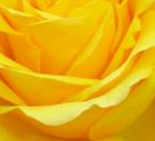 Beautiful Yellow Rose Closeup Isolated On White Sticker