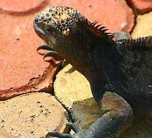Iguana by Kphotographer