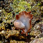 African Bubble Shell (Hydatina physis) by Deborah V Townsend