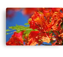 Red Flamboyant Flowers  Canvas Print