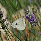 cabbage white by westie71