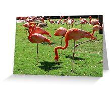Chilean Flamingos 1 Greeting Card