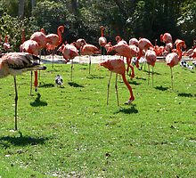 Chilean Flamingos 2 by kevint