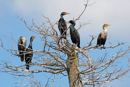 Cormorant Community by Bonnie T.  Barry