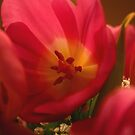Close-up Tulip by RockyWalley