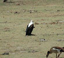 Eagle! by David H
