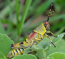 Zonocerus Elegans (Grasshopper/Locust Family) by Deborah V Townsend