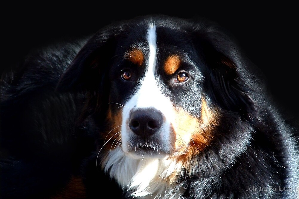 Bernese Mountain Dog by Johnny Furlotte
