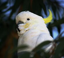 Cockatoo by jcmorley