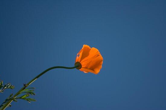 California poppy by Chris Clarke