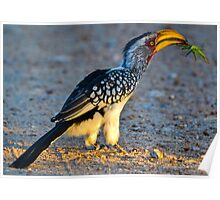 Yellow-Billed Hornbill with Lunch (Tockus leucomelas) Poster