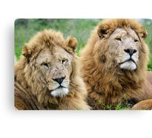 Taking care of Scarface (Panthera leo) Canvas Print