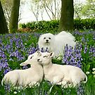 Snowdrop the Maltese & the Spring Lambs. by Morag Bates