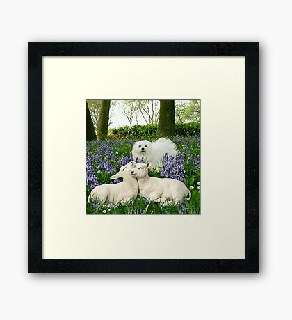 Snowdrop the Maltese & the Spring Lambs. Framed Print