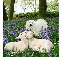 Snowdrop the Maltese & the Spring Lambs. Photographic Print
